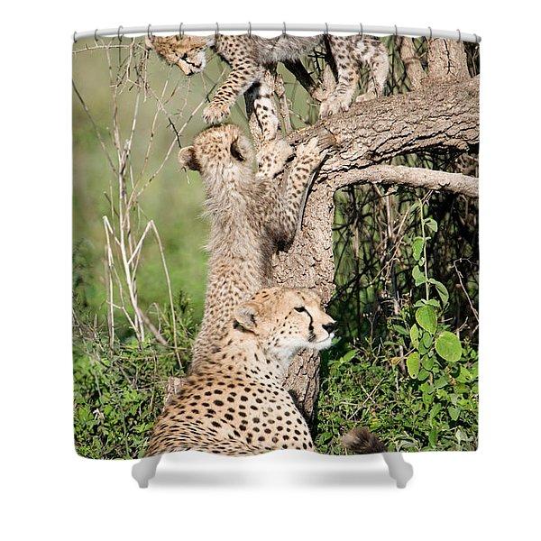Cheetah Cubs Acinonyx Jubatus Shower Curtain
