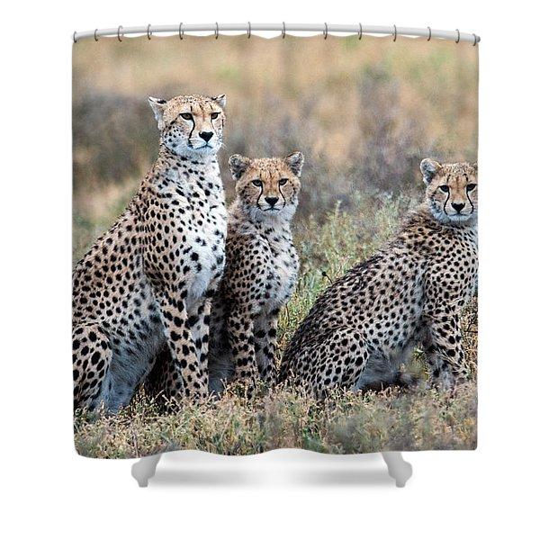 Cheetahs Acinonyx Jubatus In A Field Shower Curtain