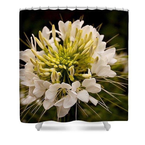 Cleome Hassleriana  Shower Curtain