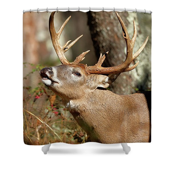 Close-up Of A White-tailed Deer Curling Shower Curtain