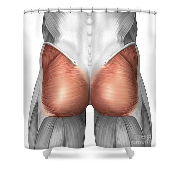 Close-up View Of Human Gluteal Muscles Shower Curtain