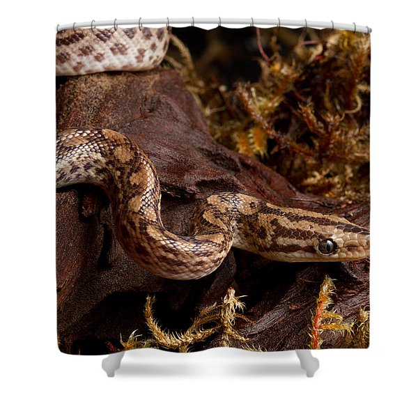 Colombian Rainbow Boa Epicrates Maurus Shower Curtain