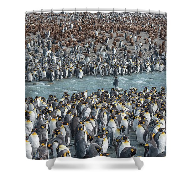 Colony Of King Penguins, Aptenodytes Shower Curtain