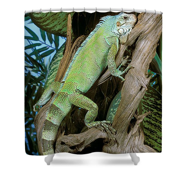 Common Iguana Shower Curtain