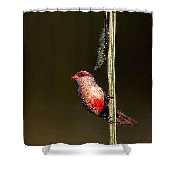 Common Waxbill Shower Curtain