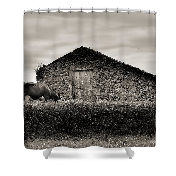 Cow Grazes At Rustic Barn  Shower Curtain