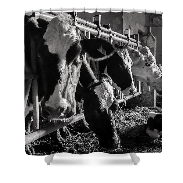 Cows In The Barn2 Shower Curtain