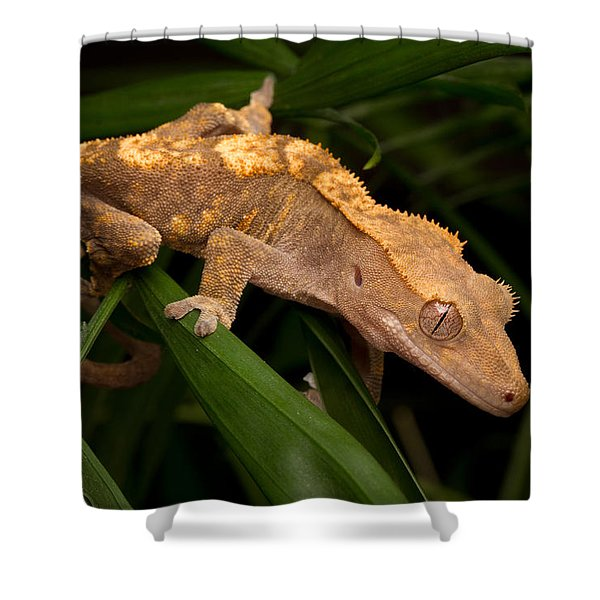Crested Gecko Rhacodactylus Ciliatus Shower Curtain