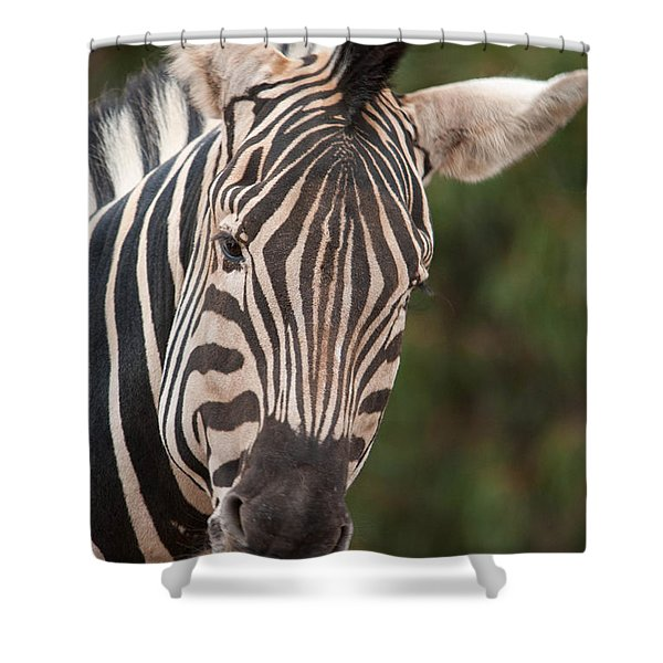 Curious Zebra Shower Curtain