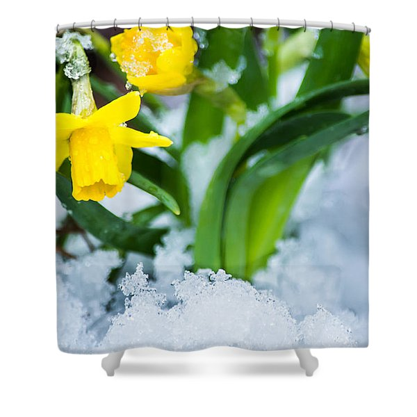 Daffodils In The Snow  Shower Curtain