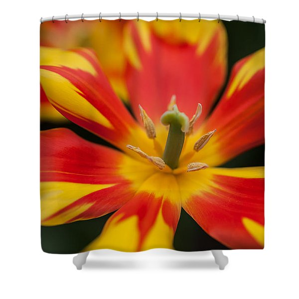 Dappled Tulip 1. The Tulips Of Holland Shower Curtain