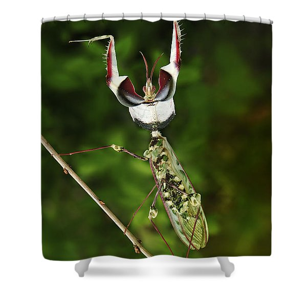 Devils Praying Mantis In Defensive Shower Curtain