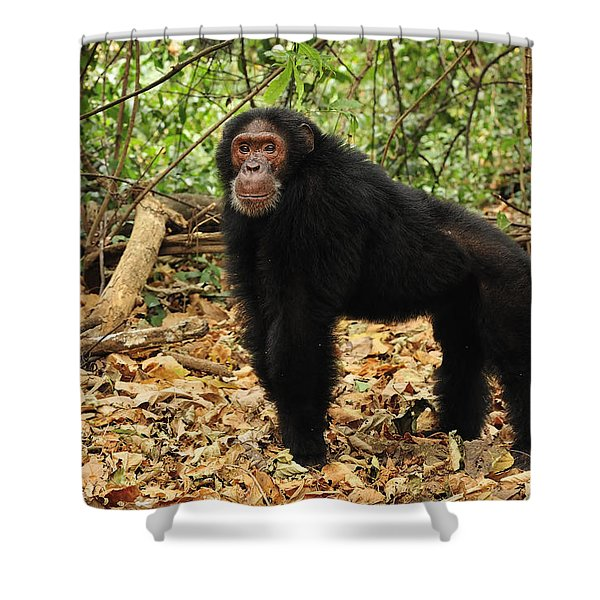 Eastern Chimpanzee Gombe Stream Np Shower Curtain
