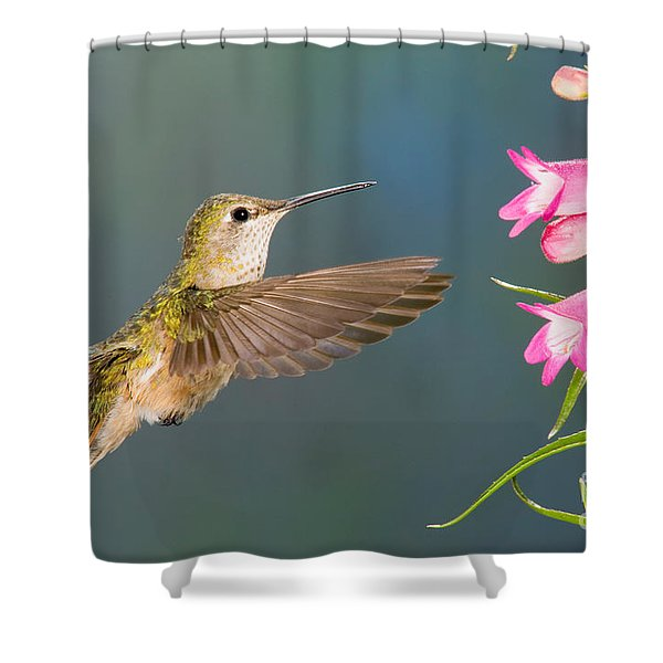 Female Broad-tailed Hummingbirds Shower Curtain