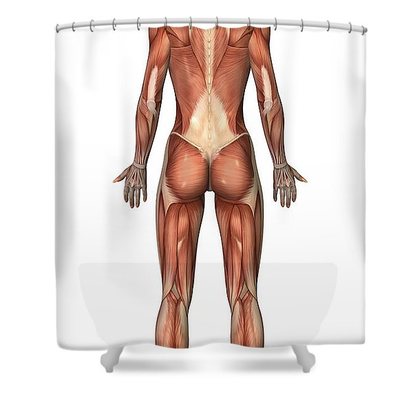 Female Muscular System, Back View Shower Curtain