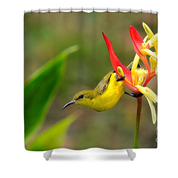 Female Olive Backed Sunbird Clings To Heliconia Plant Flower Singapore Shower Curtain