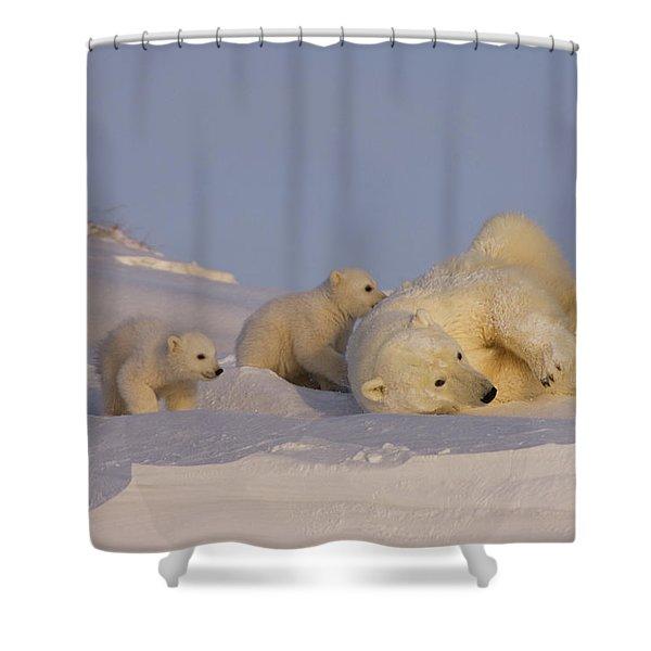 Female Polar Bear Cleans Her Coat Shower Curtain