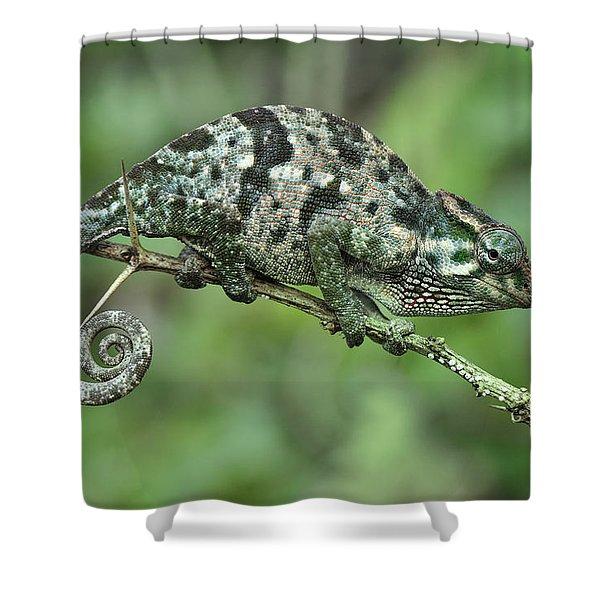 Flap-necked Chameleon Female Tanzania Shower Curtain
