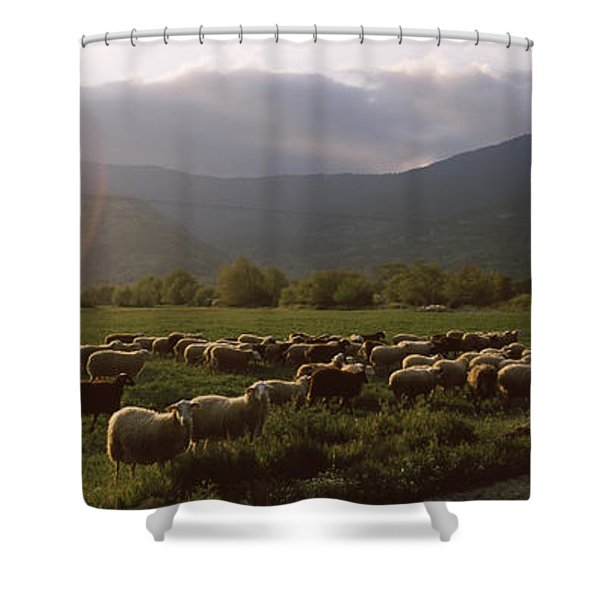 Flock Of Sheep Grazing In A Field Shower Curtain