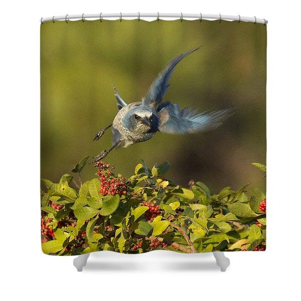Flying Florida Scrub Jay Photo Shower Curtain