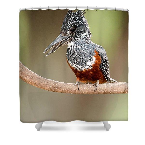Giant Kingfisher Megaceryle Maxima Shower Curtain