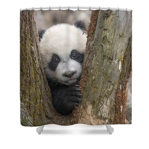 Giant Panda Cub Bifengxia Panda Base Shower Curtain