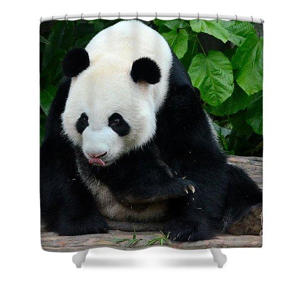 Giant Panda With Tongue Touching Nose At River Safari Zoo Singapore Shower Curtain