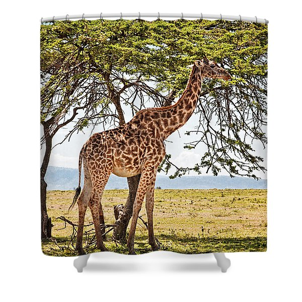 Shower Curtain featuring the photograph Giraffe Browsing by Perla Copernik
