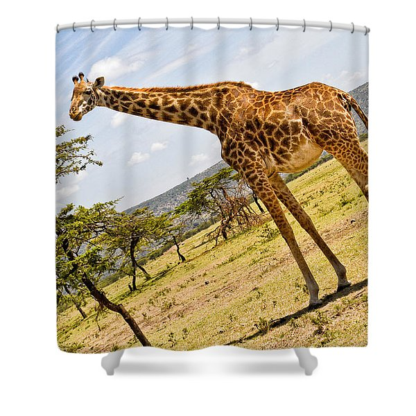 Shower Curtain featuring the photograph Giraffe Walking To Their Tree by Perla Copernik