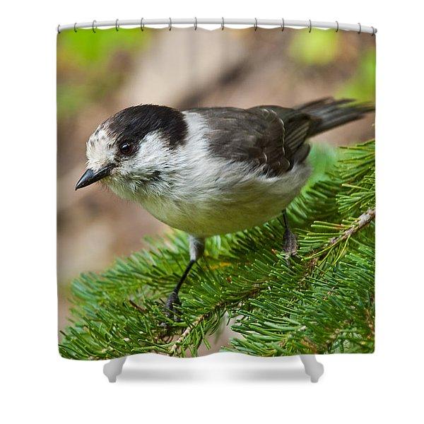 Gray Jay On Fir Tree Shower Curtain