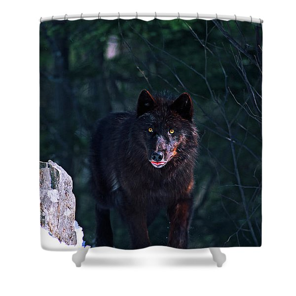 Gray Or Timber Wolf Canis Lupus Shower Curtain