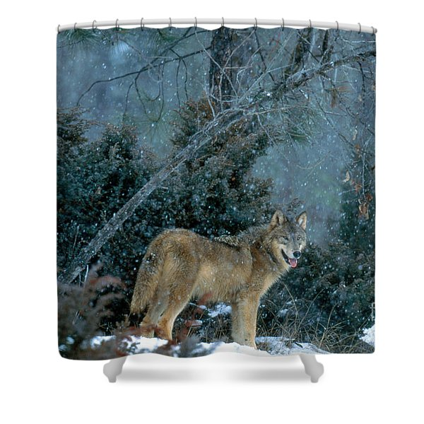 Gray Wolf At Kill Shower Curtain