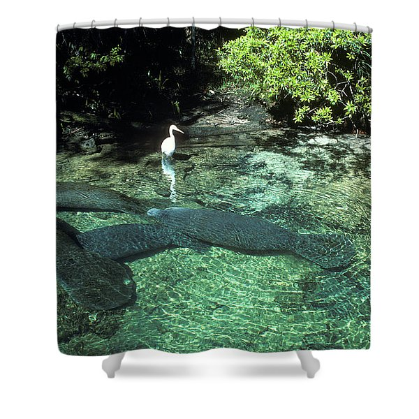 Great Egret Ardea Alba Standing In Pool Shower Curtain