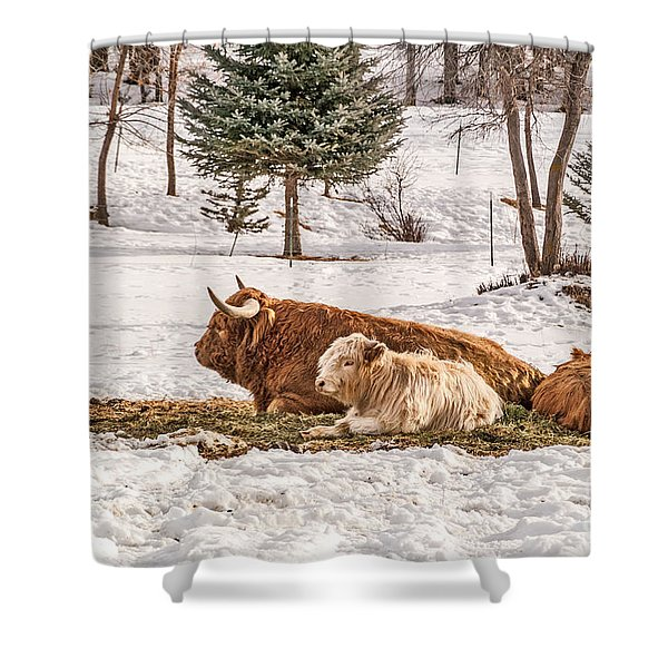 Highland Cow With Calves Shower Curtain