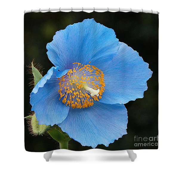 Himalayan Gift -- Meconopsis Poppy Shower Curtain