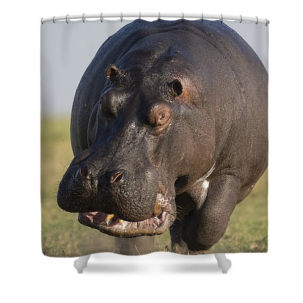 Hippopotamus Bull Charging Botswana Shower Curtain