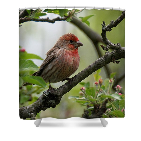 House Finch In Apple Tree Shower Curtain