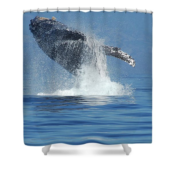 Humpback Whale Breaching Shower Curtain by Bob Christopher