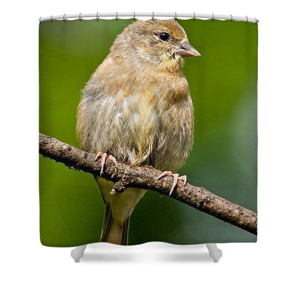 Juvenile American Goldfinch Shower Curtain
