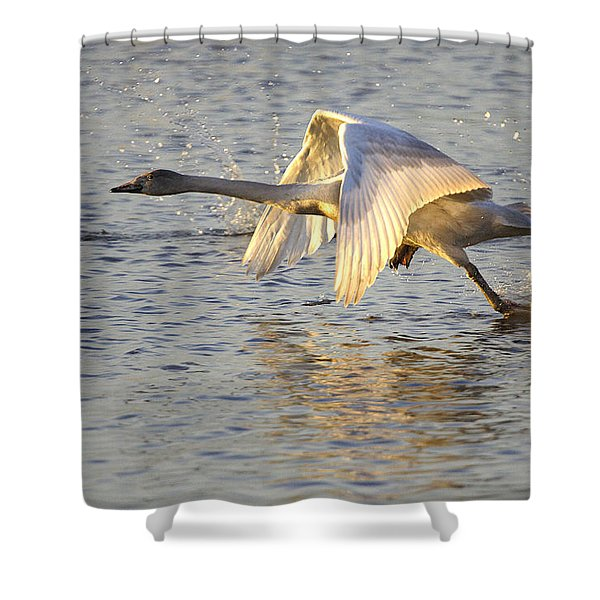 Juvenile Whooper Swan Taking Off Shower Curtain