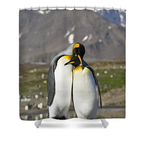 King Penguins Courting St Andrews Bay Shower Curtain