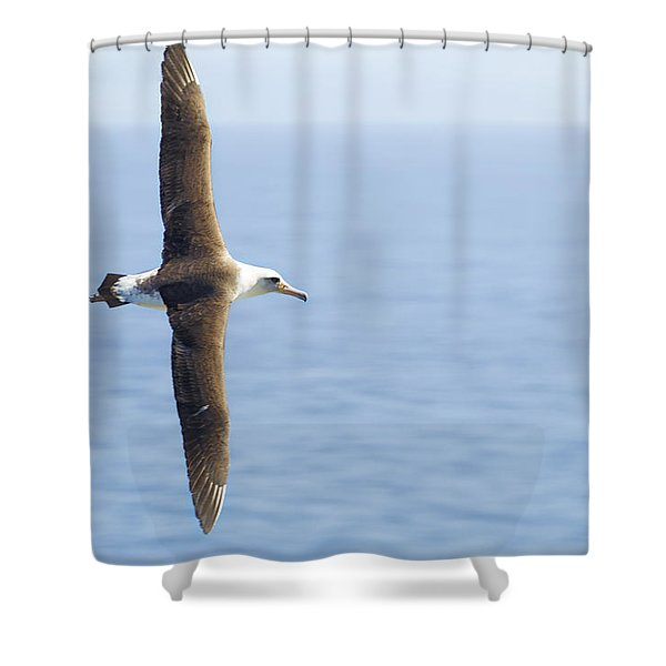 Laysan Albatross No 1 - Kilauea - Kauai - Hawaii Shower Curtain