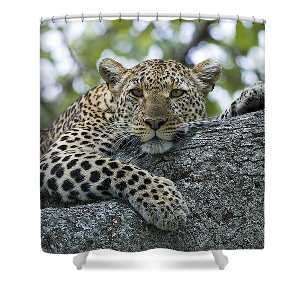 Leopard Watching From Fig Tree Shower Curtain