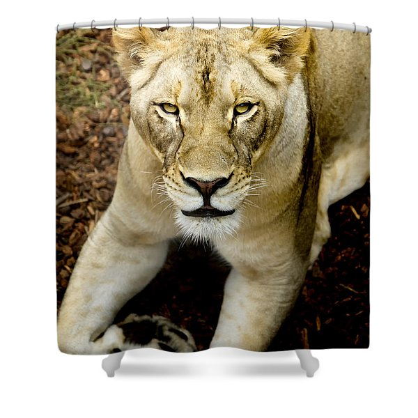 Shower Curtain featuring the photograph Lion-wildlife by David Millenheft