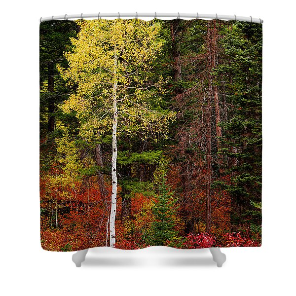 Lone Aspen In Fall Shower Curtain