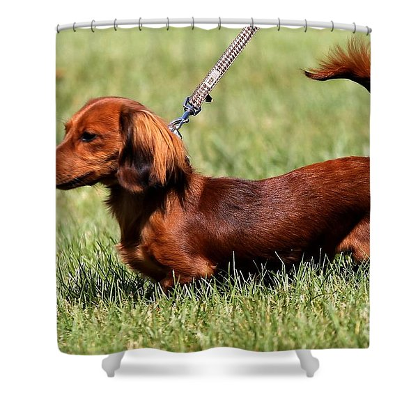Long Haired Dachshund Shower Curtain