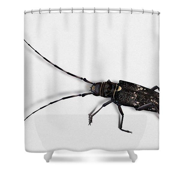 Long-hornded Wood Boring Beetle Monochamus Sartor - Coleoptere Monochame Tailleur - Shower Curtain