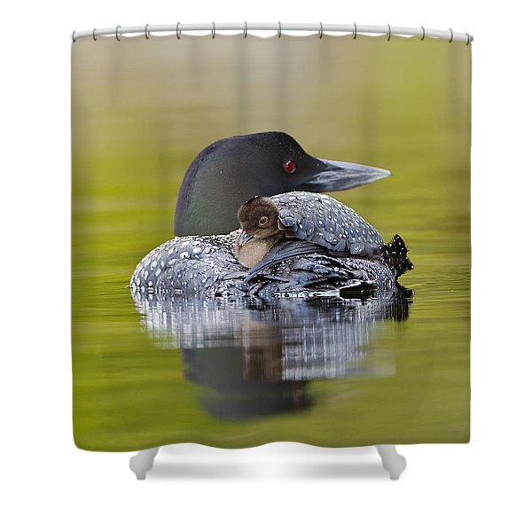 Loon Chick Resting On Parents Back Shower Curtain