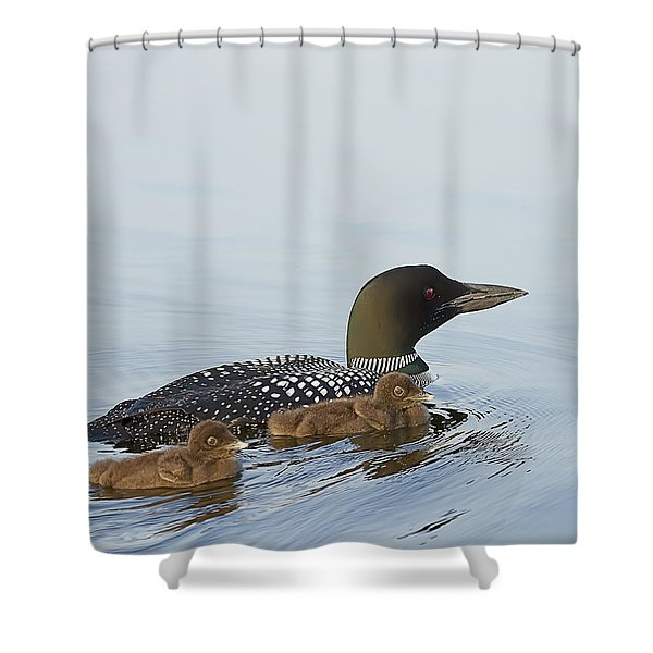 Loon Chicks Cruising With Mom Shower Curtain