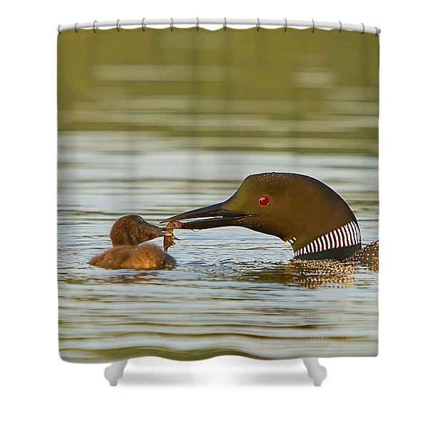 Loon Feeding Chick Shower Curtain